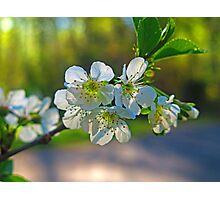 Cheery Blossoms Photographic Print