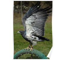 Buzzard Eagle With Flapping Wings Poster