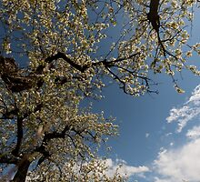 pear blossom by Nicole W.