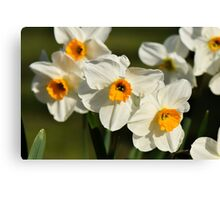 Daffodils in Spring in a Kentish garden Canvas Print