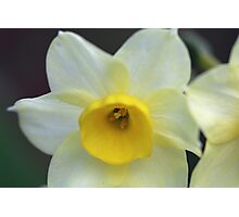 Daffodil , Walled Garden Photographic Print