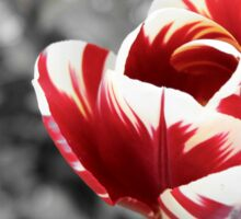 Lonely tulip, red and vanilla, monochrome photo Sticker