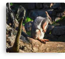 Rock Wallaby morning time Canvas Print