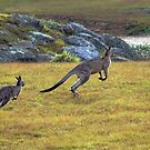 Eastern Grey Kangaroos by Deborah McGrath