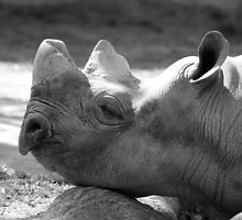 Rhino - Cincinnati Zoo by Tony Wilder