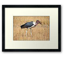 Marabou Stork, Leptoptilos crumeniferus, Kenya Framed Print