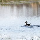 Wood Duck 2016-1 by Thomas Young