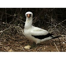 Nazca Boobie and Eggs Photographic Print
