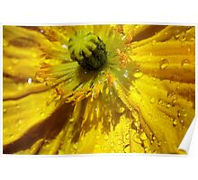 Yellow Poppy Close-up Poster