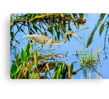 Tricolored Heron On The Hunt Canvas Print