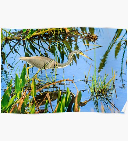 Tricolored Heron On The Hunt Poster