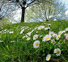 Daisies by herbspics