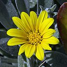 Yellow flower Leith Park Victoria 20151222 6508   by Fred Mitchell
