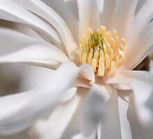 White Star Magnolia by Poete100
