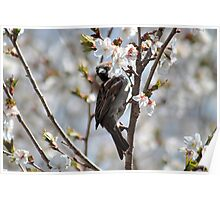 Sparrow in the cherry tree Poster