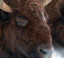 Genesee bison in snow Sticker