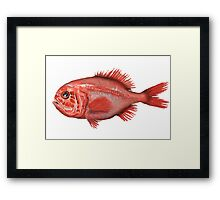 Fish - Orange Roughy (Hoplostethus atlanticus) Framed Print