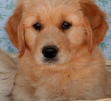 Golden Retriever Puppy by Jenny Brice