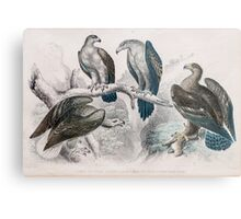 eagle birds Hand coloured engraving  Metal Print