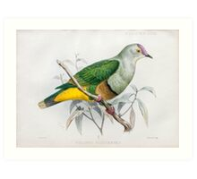 Illustration of Samoan fruit-dove (ptilopus pictiventris now Ptilinopus fasciatus) from 1878 Art Print