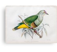 Illustration of Samoan fruit-dove (ptilopus pictiventris now Ptilinopus fasciatus) from 1878 Canvas Print