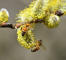 Bees & Cottonwood blooms by Laurie Minor