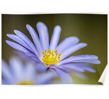 Greek anemone Poster