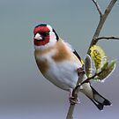 Goldfinch on Pussy Willow by M.S. Photography/Art