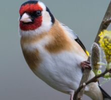 Goldfinch on Pussy Willow Sticker
