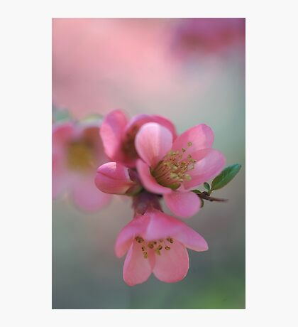 Japanese Flowering Quince Photographic Print