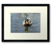 Mallrd Duck drake on lake Framed Print