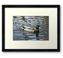 Mallard Duck Drake on lake Framed Print