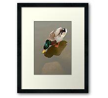 Thirsty Mallard Duck Drake  Framed Print