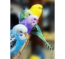 Parakeets Photo Photographic Print