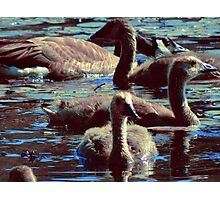 Baby Geese Photographic Print