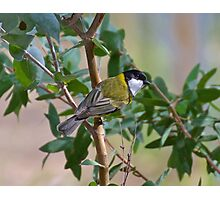 Golden Whistler Photographic Print