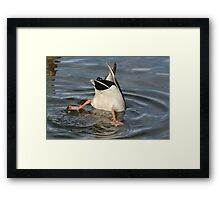 Diving Mallard Duck Framed Print