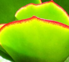 Succulent - PADDLE PLANT or Aeonium Tree Sticker