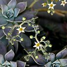 Twinkle, Twinkle, Succulent Stars by Michael May
