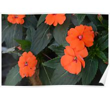 Orange flowers and green leaves bush. Poster