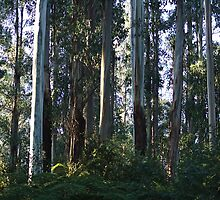 Eucalyptus Trees and Ferns  by Joy Watson
