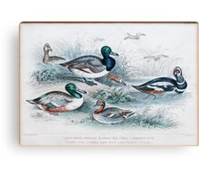 19th century artwork By J. Stewart Del containing: blue winged shoveler, Broad Bill, Teal, Harlequin Duck, Scaup duck and Red Headed Pochard  Canvas Print