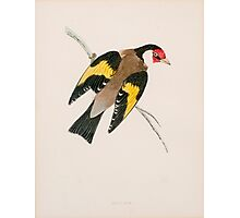 19th century Artwork of a European goldfinch (Carduelis carduelis)  Photographic Print