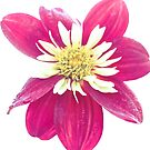 Dahlia Flower 2 by Deborah McGrath