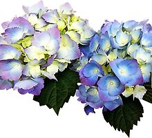 Pale Pink and Blue Hydrangea by Susan Savad