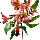Pink Asiatic Lilies Closeup by Susan Savad