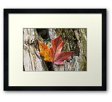 Maple leaf coloured from the Autumn over wooden trunk. Framed Print