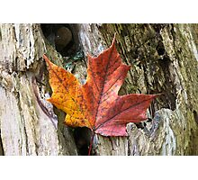 Maple leaf coloured from the Autumn over wooden trunk. Photographic Print