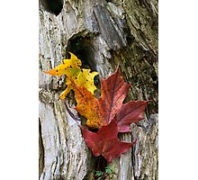 Maple Leaves Coloured from Autumn in yellow to red Photographic Print