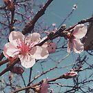 Peach Tree Flower Blossoms by angelandspot